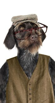 Dog - German Wire-Haired Pointer with hat glasses & waistcoat on