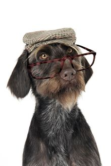 Dog. German Wire-Haired Pointer wearing hat and glasses
