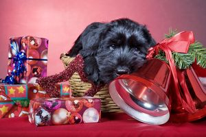 Dog - Giant Schnauzer - In Christmas basket with presents