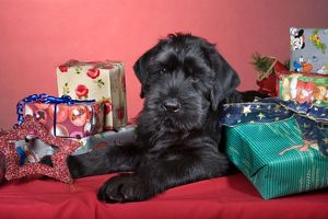 Dog - Giant Schnauzer - With Christmas presents