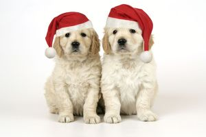 Dog. Golden Retriever puppies (6 weeks) sitting down together wearing Christmas hats