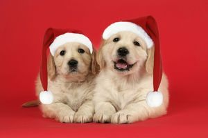 Dog. Golden Retriever puppies (6 weeks) lying down together wearing Christmas hats