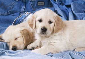 DOG - two Golden Retriever puppies on denim jeans