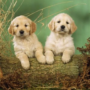 DOG - Golden Retriever puppies, on hind legs, with front paws on log