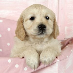 Dog. Golden Retriever puppy (6 weeks) sitting in pink box