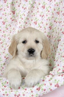 Dog. Golden Retriever puppy (6 weeks) with paws over floral cloth