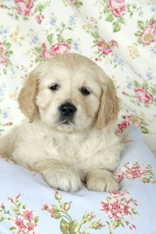 Dog. Golden Retriever puppy (6 weeks) lying on floral clot