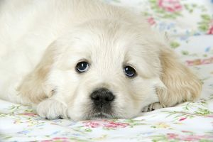 Dog. Golden Retriever puppy (6 weeks) lying on floral cloth