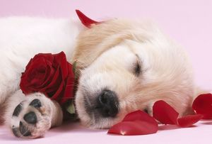 DOG - Golden Retriever puppy asleep amongst rose petals