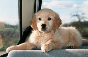 Dog - Golden Retriever puppy in the back of a car