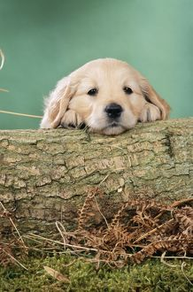 DOG - Golden retriever puppy with head on log