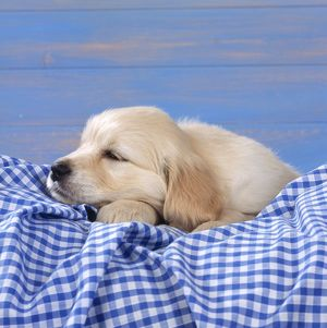 DOG - Golden Retriever Puppy lying down on blue gingham