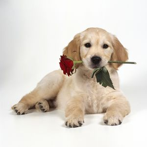 DOG - Golden Retriever puppy lying with rose in mouth