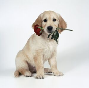 DOG - Golden Retriever puppy with rose in mouth