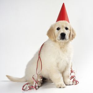 DOG - Golden Retriever puppy wearing party hat and streamer