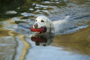 Dog - Golden Retriever, swimming in water, retrieving toy