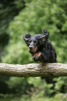 DOG. Gordon setter jumping over log