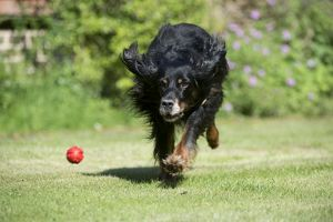 DOG - Gordon setter playing in garden