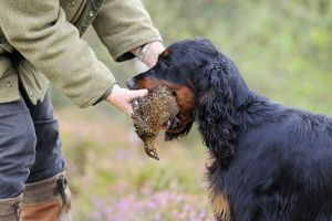 DOG. Gordon Setter presenting grouse to owner
