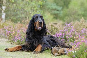 DOG. Gordon Setter sitting with grouse
