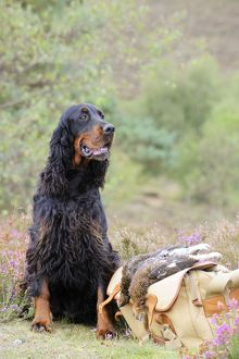 DOG. Gordon Setter sitting with grouse on camera bag