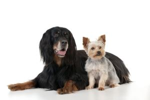 DOG - Gordon setter sitting with yorkshire terrier