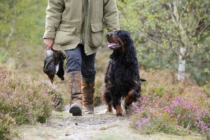 DOG. Gordon Setter walking with owner