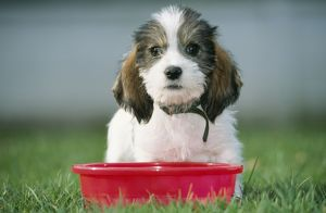 DOG - Grand Basset Griffon Vendeen pup - sitting with red bowl