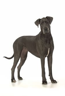 Dog Great Dane