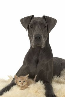 Dog Great Dane with a kitten