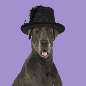 DOG - Great Dane - mouth open wearing Hat Digital