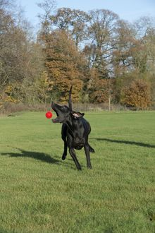DOG - Great dane playing with ball in park