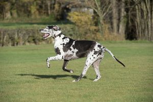 DOG - Great dane running in park