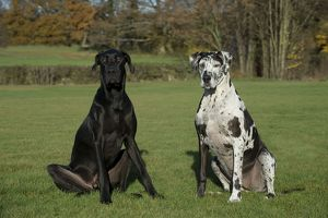 DOG - Great dane sitting in park
