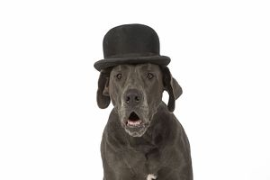 Dog Great Dane wearing a bowler hat