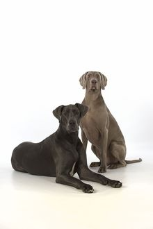Dog Great Dane and Weimaraner