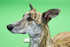 Dog - Greyhound - female