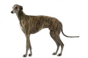 Dog - Greyhound / Levrier