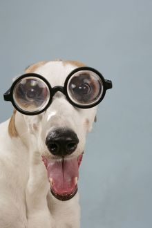 Dog - Greyhound wearing joke magnified glasses