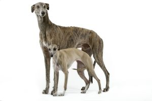 Dog - Greyhound and Whippet