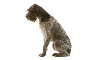dog griffon korthals german wire haired pointer