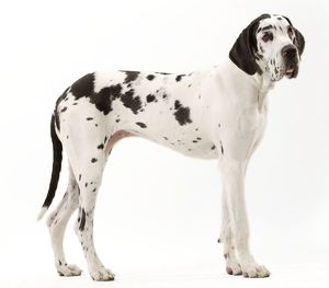 Dog - Harlequin Great Dane