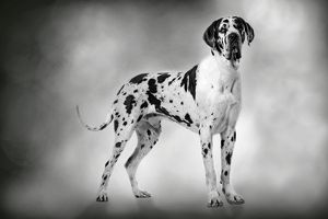 Dog - Harlequin Great Dane - 15 month old puppy