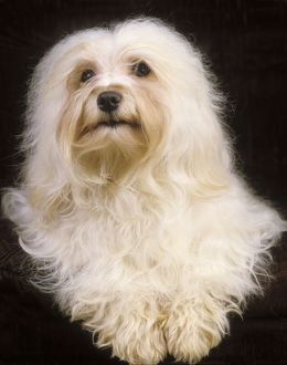 Dog - Havanese. Also known as Bichon Havanais