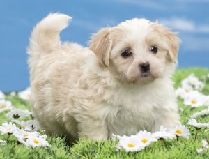 Dog - Havanese puppy