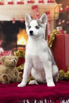 Dog Husky puppy Christmas scene