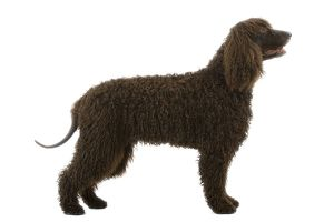 Dog - Irish Water Spaniel