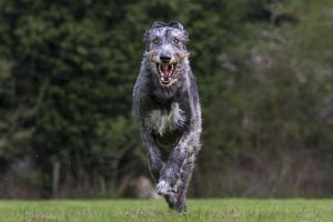 Dog - Irish Wolfhound