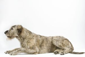 Dog - Irish Wolfhound, lying down