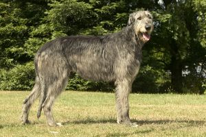 DOG - Irish wolfhound. Standing, side view